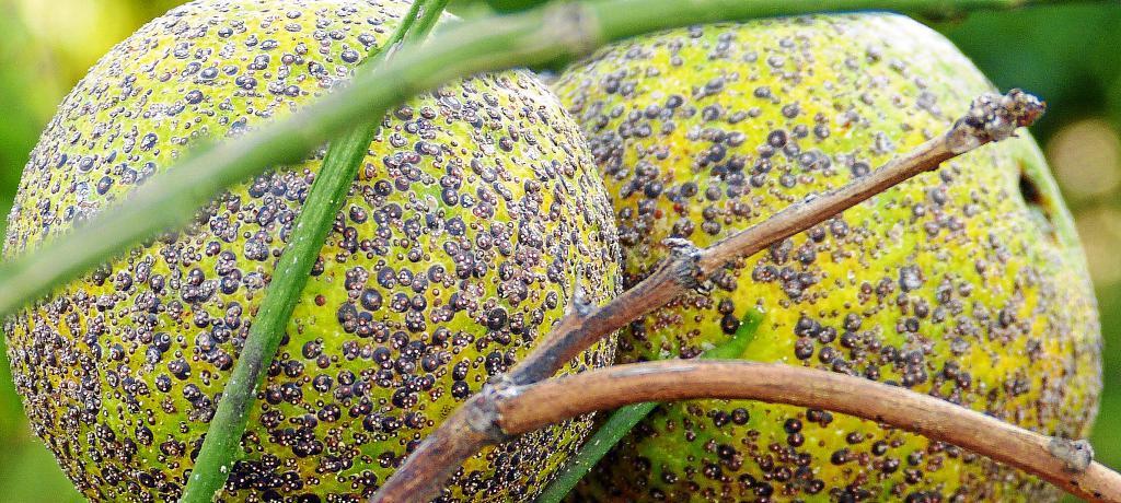 El desagradable maquillaje de los c tricos ibicencos - El limonero ibiza ...